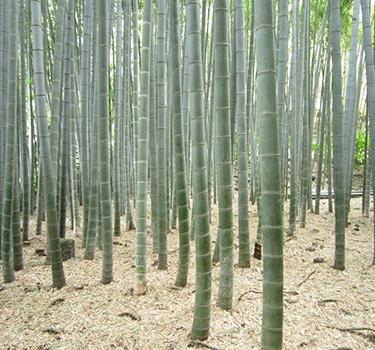 Bamboo_375